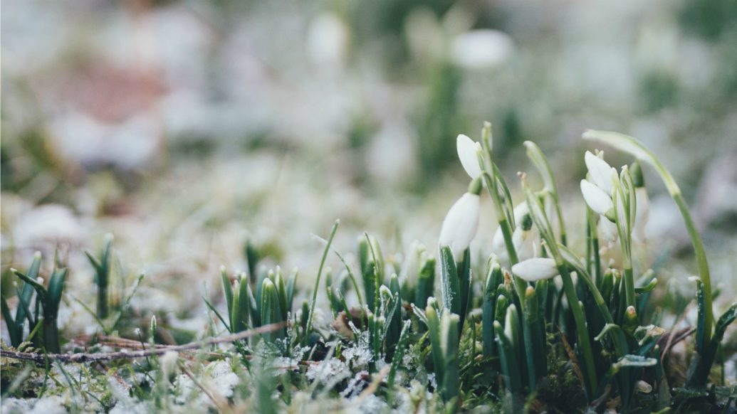 Snow Drops growing through frost covered ground